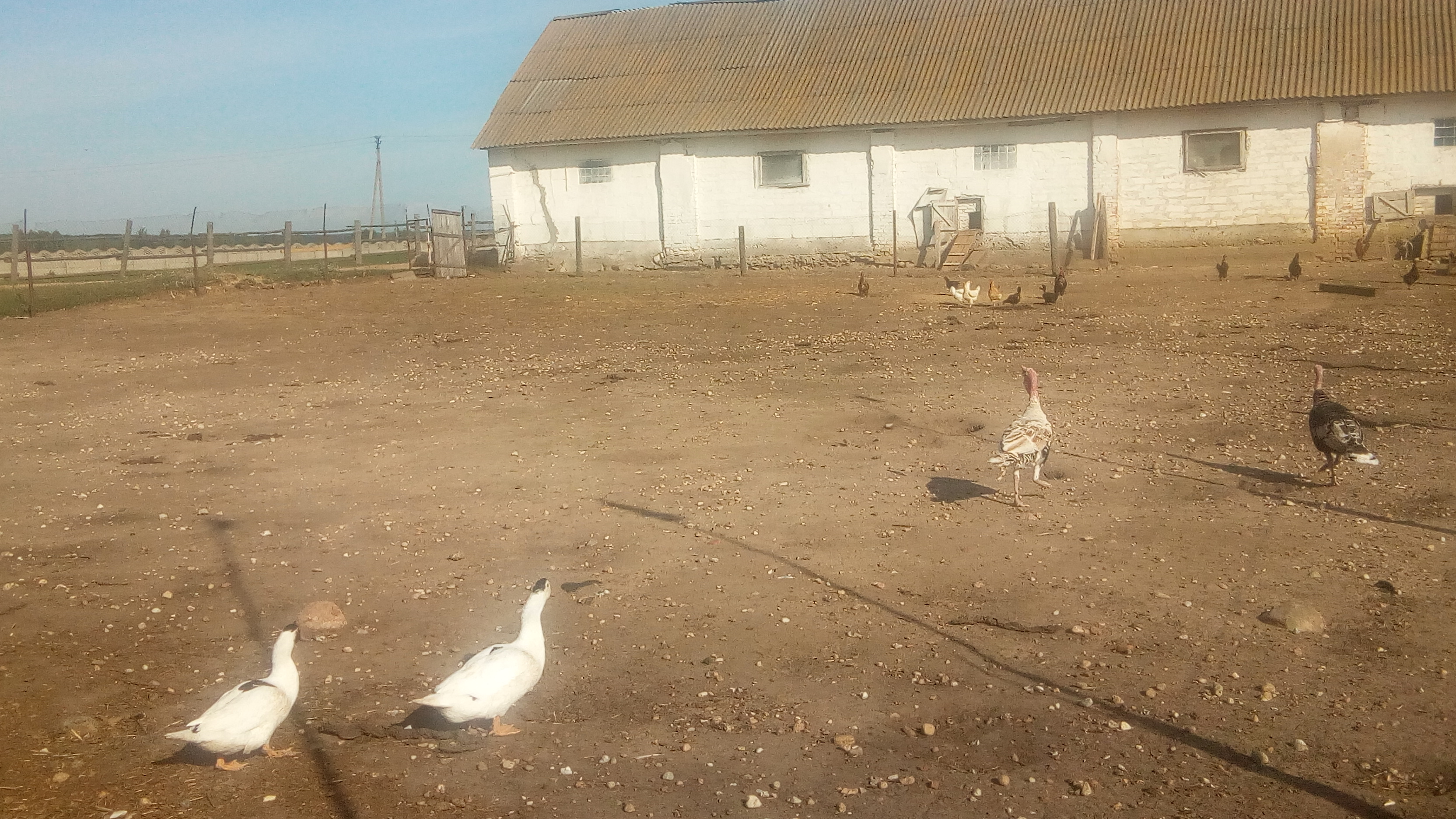 Zhyrovichi-farm-turkeys