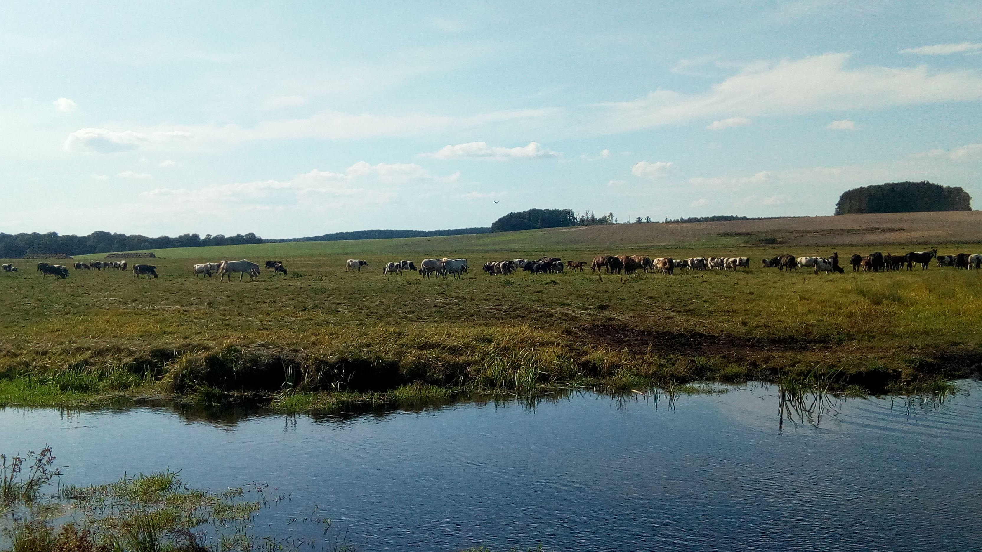 a-herd-of-animals-near-Zhirovichy-farm