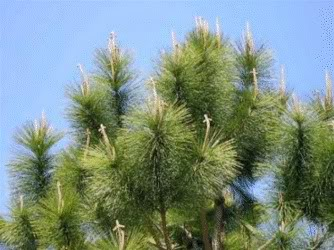 Pine tree on cones on Easter forms Cross shape