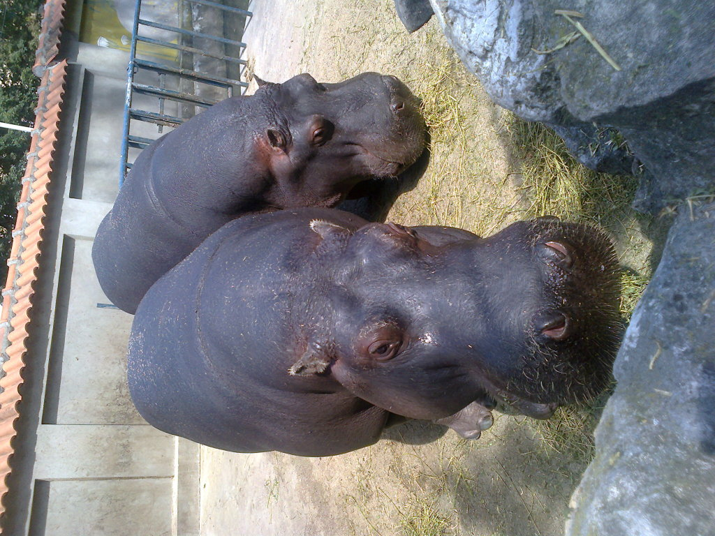 hipos in Beograd Zoo