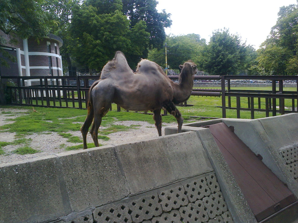 Grandmother Camel in Beograd Zoo